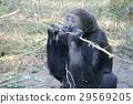 大猩猩 孩子 小孩 29569205