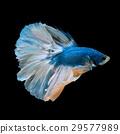 blue betta 29577989