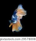 Blue betta 29578008