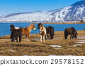 Icelandic horses in local farm  29578152