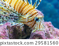 Lionfish in the sea 29581560