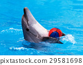 dolphin, ball, animal 29581698