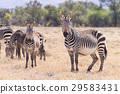 Cape mountain zebra, South Africa 29583431