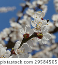 Apricot tree blooming in early spring 29584505