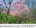 토필과 벚꽃 29586607