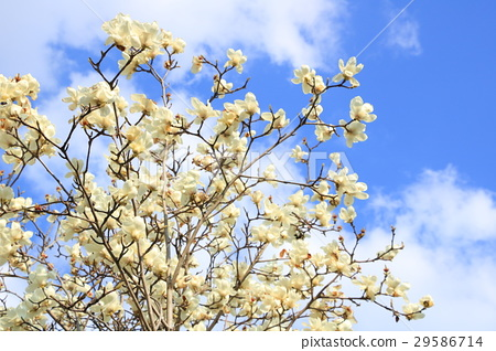 Magnolia tree and blue sky 29586714