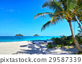 夏威夷 椰子树 棕榈树 29587339
