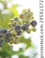 블루 베리, 과일, 과실 29591372