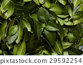 green, leaves, pattern 29592254