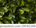 green, leaves, pattern 29592286