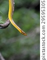 Grey-tailed Racer (Red-tailed Racer) - 호소쯔라나메라 29595305