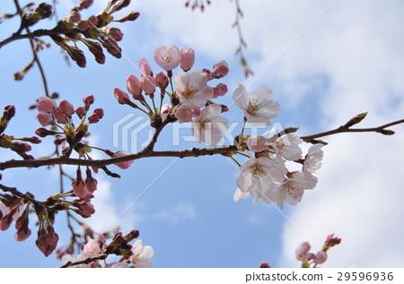 Cherry Blossoms 29596936