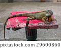 이구아나, 야생, 동물 29600860