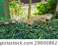 Large lizard of the iguana 29600862