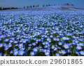 Nemophila (flower) field in full bloom  29601865