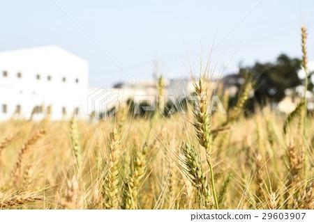 Wheat field 29603907