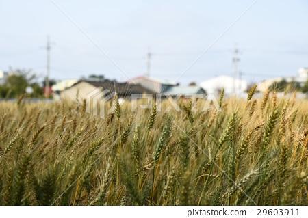 Wheat field 29603911