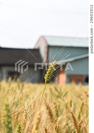 Wheat field 29603912
