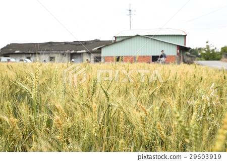 Wheat field 29603919