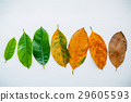 Leaves of different age of jack fruit tree. 29605593