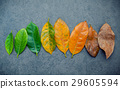 Leaves of different age of jack fruit tree . 29605594