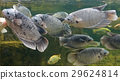 Giant gourami fish swimming in pond 29624814