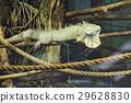 Lizard is goanna lies dry branch of a tree 29628830