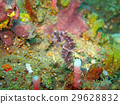 Bargibanti Pygmy Seahorse the smallest in  world 29628832