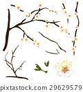 Prunus mume - Chinese plum, Japanese apricot 29629579