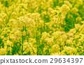 ดอกเรป,ทุ่งดอกไม้,ดอกไม้ 29634397