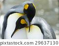 企鵝 國王 鳥兒 29637130