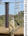 เมียร์แคท,สัตว์,ภาพวาดมือ 29638511