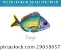 สีน้ำ,ปลา,เวกเตอร์ 29638657