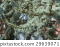 closeup of cedar tree branch at spring 29639071