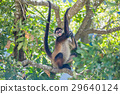 Spider monkey. Mexico 29640124