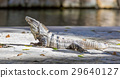 Iguana in wildlife. Cancun, Mexico 29640127