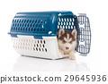 siberian husky puppy in travel box o 29645936