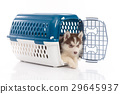 siberian husky puppy in travel box o 29645937