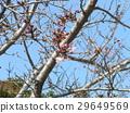 cherry blossom, cherry tree, flower 29649569