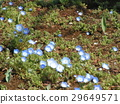 nemophila, blue, annual plant 29649571