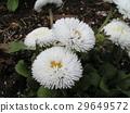 daisy, bloom, blossom 29649572