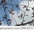 oshimcherry, bloom, blossom 29650571
