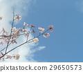 yoshino cherry tree, flower, flowers 29650573