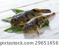 河豚 河豚魚 魚 29651656