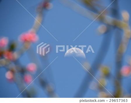 櫻花與月 29657363