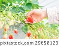 草莓 摘草莓 草莓地 29658123