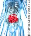 3D illustration of Small Intestine. 29658453
