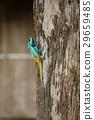 Thai chameleon 29659485