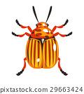 甲壳虫 土豆 马铃薯 29663424