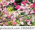 樱花 樱桃树 粉色 29666847